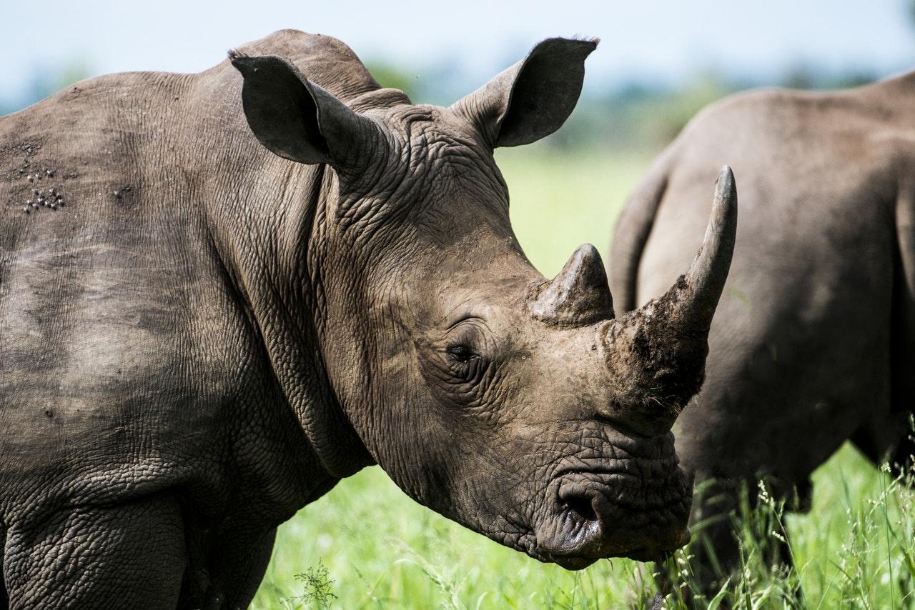 Průlom v záchraně nosorožců. Vědci vypěstovali umělé embryo