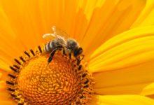 Čeští vědci zjistili, jak živit včely, když není pyl