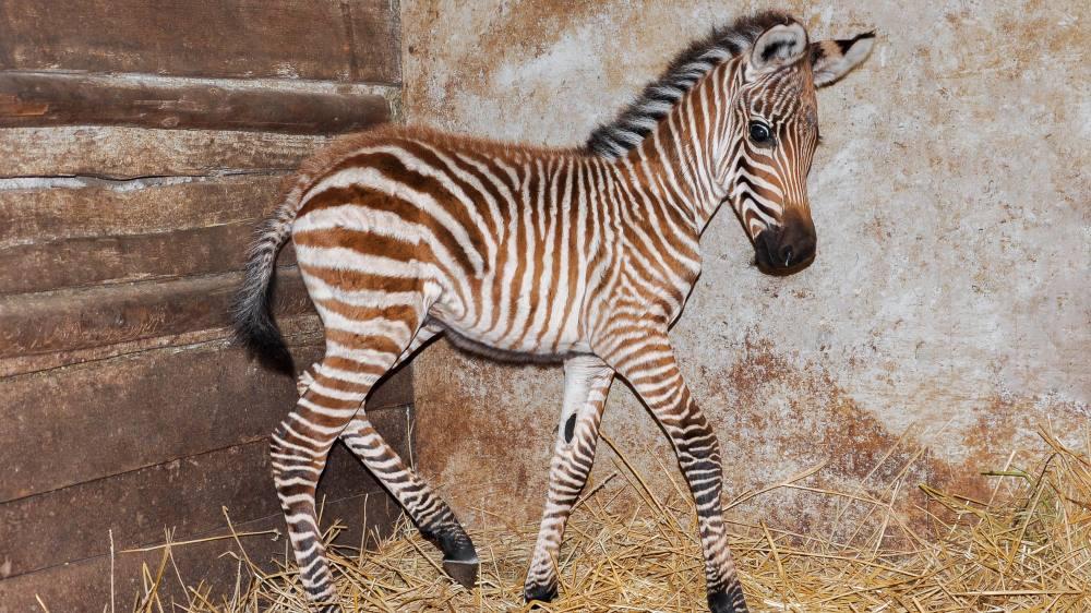 V pražské zoo se narodila zebra Böhmova