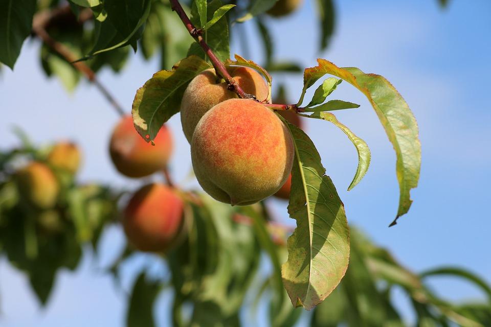 Letošní úroda ovocných stromů je mimořádně vysoká