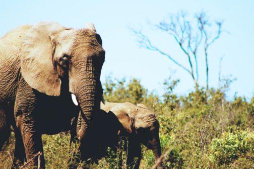 Sloní DNA pomáhá odhalit pytlácké gangy