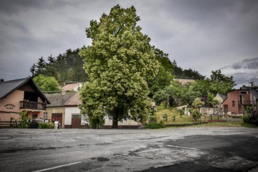 Stromem roku je letos stoletá lípa z Velkých Opatovic