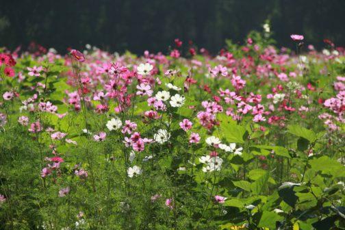 Čeští vědci rozklíčovali tajemství úspěchu invazivních rostlin