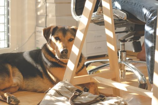 Thajci si mohou brát psy do práce, výhody potvrzují studie