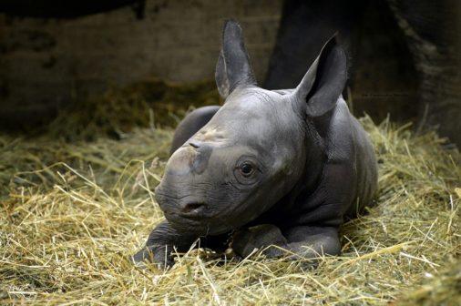V Zoo Dvůr Králové se radují z nových přírůstků vzácných nosorožců