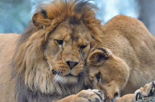 V liberecké zoo se narodila dvě mláďata lva berberského