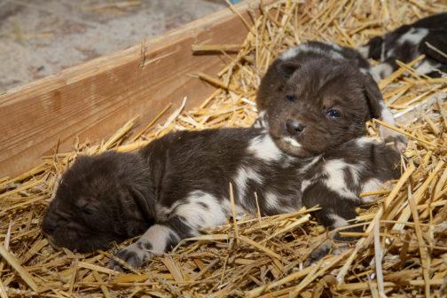 Smečka psů hyenovitých ve Dvoře Králové se rozrostla