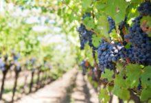 Vinaři z Moravy a Čech vozí ze světa čím dál více medailí