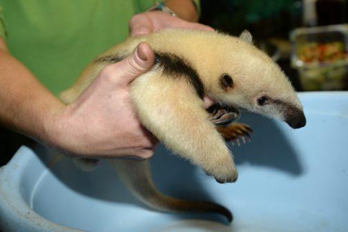 V Zoo Olomouc se narodila dvě mláďata mravenečníků