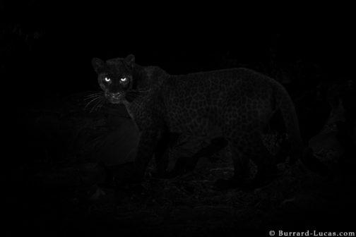 Fotografovi se podařilo v Africe vyfotit extrémně vzácného černého levharta