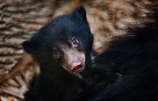 Zlínská zoo odchovala mládě medvěda pyskatého