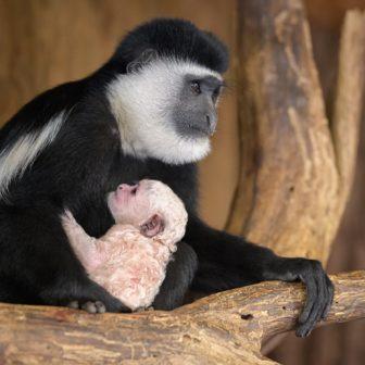 Pražská zoo slaví další úspěch. Nový přírůstek přibyl do skupiny gueréz pláštíkových