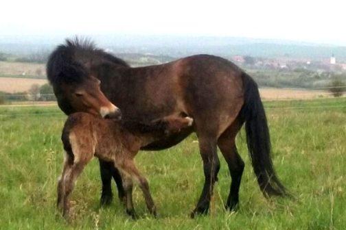 V Národním parku Podyjí se narodilo první mládě divokých koní