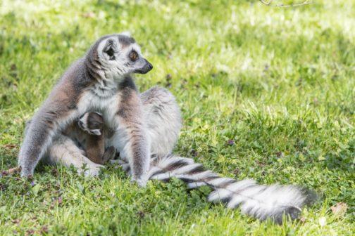V pražské zoo se po 25 letech narodilo první mládě lemura kata