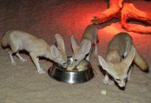 Další úspěch Zoo Olomouc. Nejmenší liška na světě vyvedla mláďata