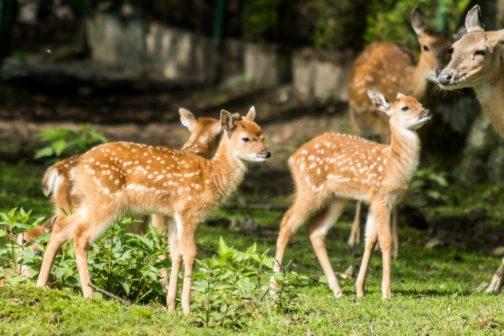 Ostravská zoo se podílí na záchraně vzácných jelenů sika