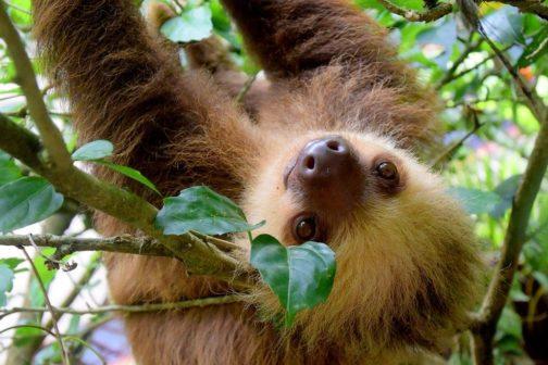 V jihlavské zoo se narodilo mládě lenochoda dvouprstého