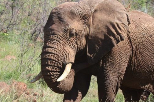 Africká rezervace Niassa slaví celý jeden rok bez zabití slona pytlákem