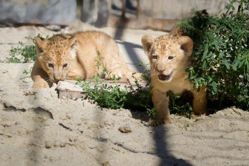 V ZOO Dvůr Králové se po 30 letech narodila koťata lvů berberských