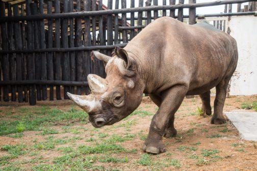 Nosorožci ze Dvora Králové pomůžou obnovit populaci ohroženého druhu ve Rwandě
