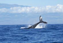 Tradiční lov velryb u Islandu se letos konat nebude