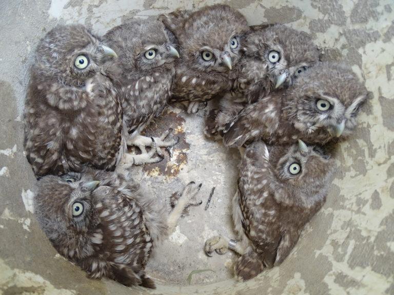 Ornitologové slaví úspěšnou sezónu hnízdění sýčků. Objevili 59 mláďat