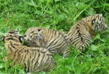 Ve zlínské zoo se narodila mláďata tygra ussurijského