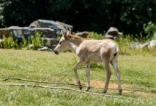 Ostravská zoo chová největší stádo ohrožených onagerů v Evropě