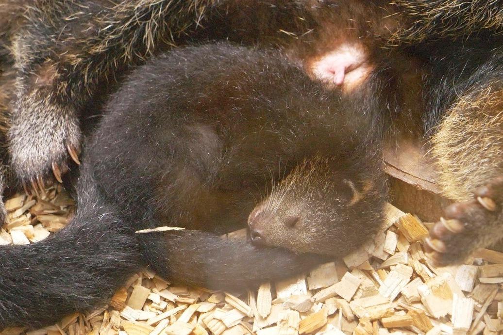 V Zoo Ostrava se narodilo už třetí mládě binturonga