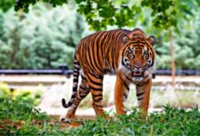 V Indii přibývá tygrů, jsou jich přibližně tři tisíce