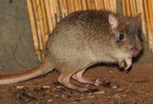V děčínské zoo se rozmnožili kriticky ohrožení klokánci králíkovití