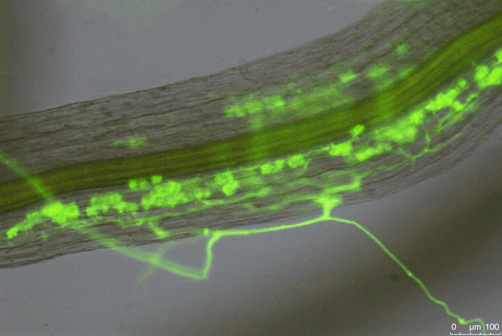 Vědci přišli na to, jak rostliny kontrolují soužití s houbami. Objev může pomoci v zemědělství