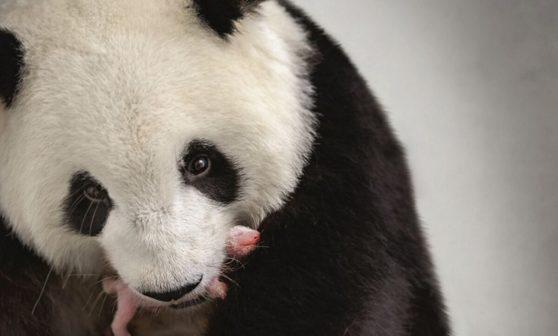 V Zoo Berlín se narodila dvě pandí mláďata. Dvojčata se mají čile k světu