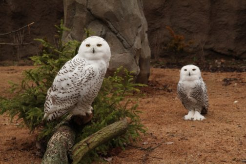 V Zoo Brno se po 21 letech narodila mláďata sovice sněžní