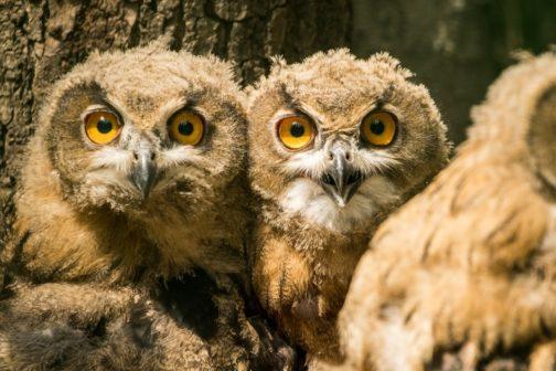 Tři mláďata výrů velkých z ostravské zoo byla vypuštěna do přírody