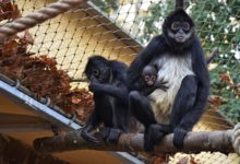Děčínská zoo hlásí úspěch roku. Narodilo se tam mládě chápana