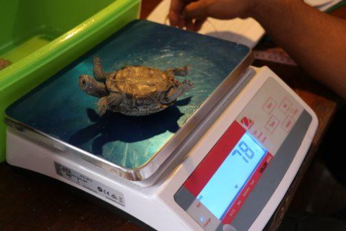 Želví samec Diego, který svým sexuálním apetitem pomohl zachránit celý druh, se vrací domů