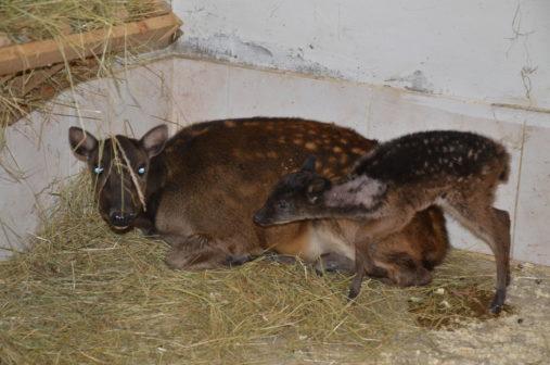 V děčínské zoo se v prosinci narodil vzácný jelínek