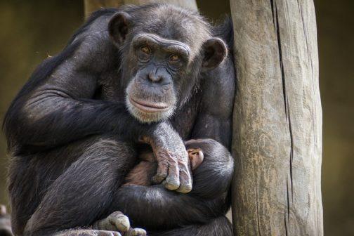 Plzeňská zoo se raduje z narození šimpanze