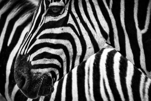 V plzeňské zoo začnou chovat kriticky ohroženou zebru bezhřívou